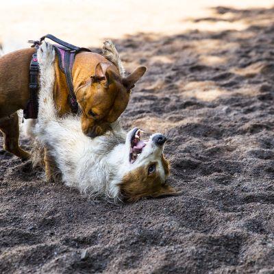 Koirien vuorovaikutus
