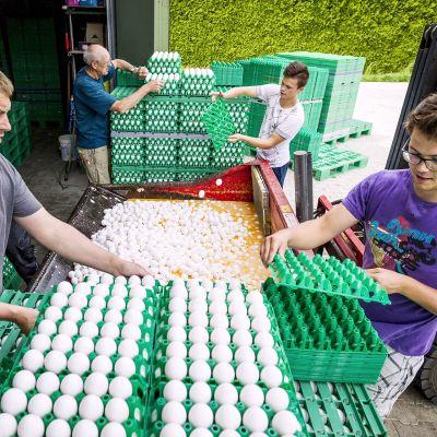 Kananmunia tuhotaan hollantilaisella maatilalla Onstweddessä.