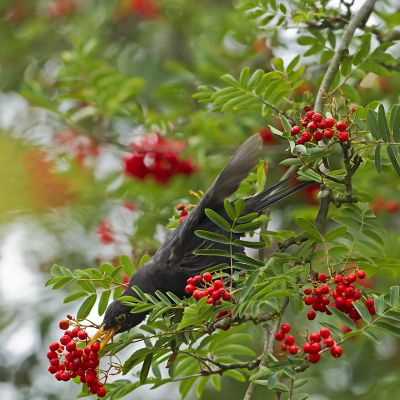 lintu syö pihlajanmarjoja