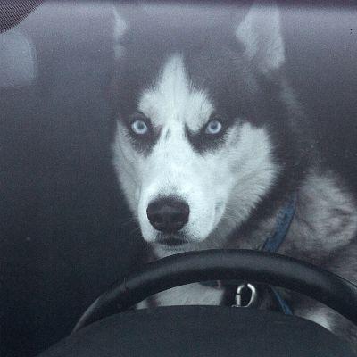 Siperianhusky istuu autossa ratin takana.