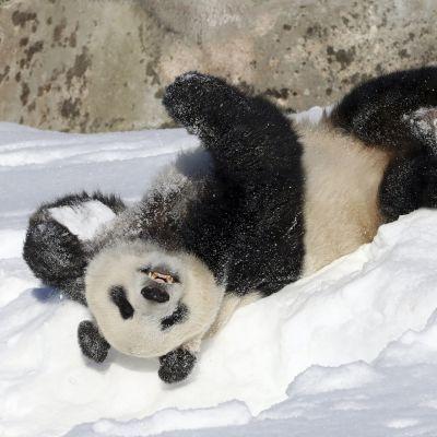 Pyry pyörii innoissaan lumessa Ähtärin eläintarhassa 3. maaliskuuta.