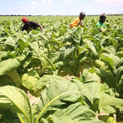 Zimbabwelaisia korjaamassa tupakkasatoa joulukuussa 2017.