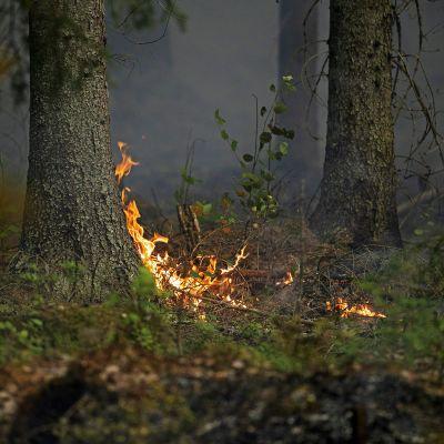 Puu palaa juuresta.