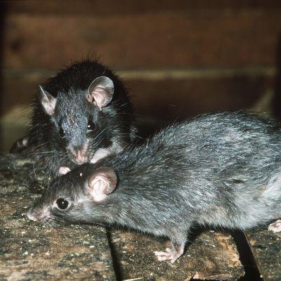 Kaksi rottaa