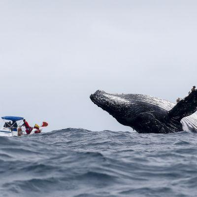 Ryhävalas hyppää vedessä Puerto Lopezissa, Ecuadorissa.