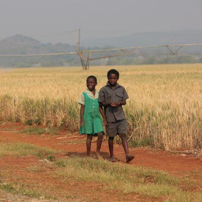 Lapset kävelivät vehnäpellon laitaa Shamvassa Zimbabwessa lokakuussa 2017.