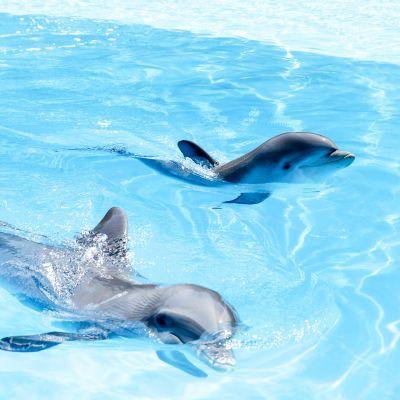 Delfiinejä akvaariossa