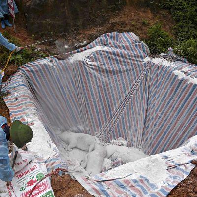 Terveysviranomaiset hautaavat maahan sikoja Vietnamin Hanoissa. Samalla he ruiskuttavat desinfiointiainetta kuolleisiin sikoihin Hanoissa sijaitsevan eristetyn karanteenissa olevan kuopan sisälle afrikkalaisen sikaruton leviämisen lopettamiseksi.