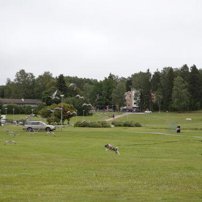 Koira häätää valkoposkihanhia lentoon nurmialueelta Espoossa.