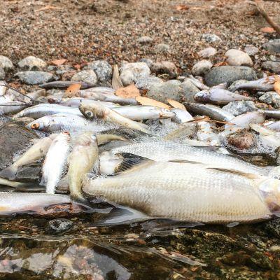 Rautalampi-järven rannoille on ajautunut keskiviikosta alkaen suuri määrä kuolleita kaloja