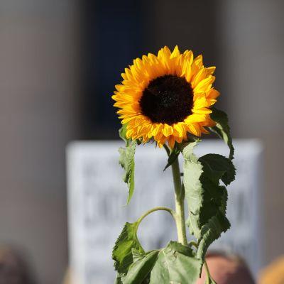 auringonkukka mielenosoituksessa