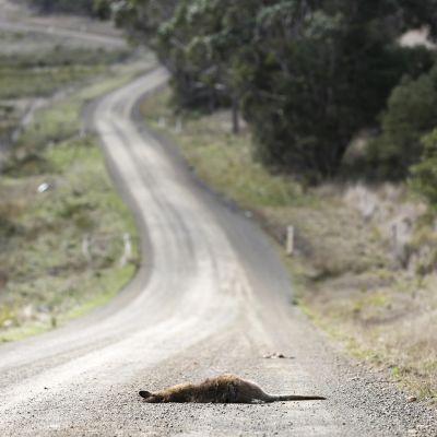 Kuollut kenguru tiellä.