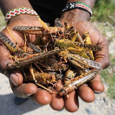 Paikallinen opas piteli käsissään heinäsirkkoja Shaban kansallispuistossa Keniassa 16. tammikuuta.
