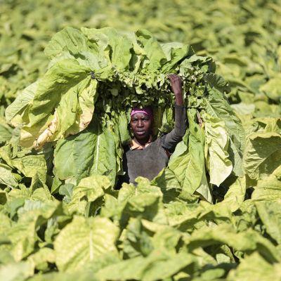 Työntekijä kantaa tuoreita tupakkakasvin lehtiä Zimbabwessa.