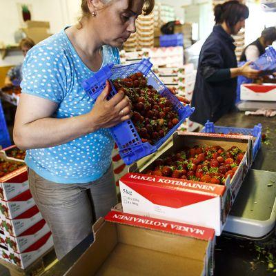 Ukrainalaisia kausityöntekijöitä valmistelemassa mansikoita myyntiin Suonenjoella Veikko Raivion tilalla 5. heinäkuuta 2013.
