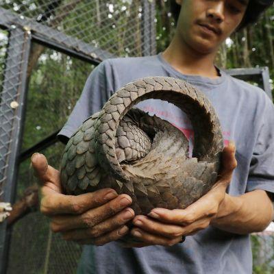 Muurahaiskäpy eläinsuojelukeskuksessa Bangka Belitungin saarella Indonesiassa.