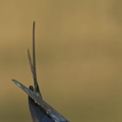 En ladusvala med lera och kvistar i näbben.