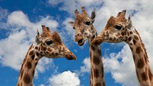 kolme kirahvia puolilähikuvassa taivasta vasten