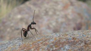 muurahainen kivellä