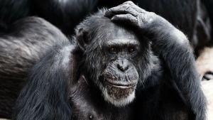 simpanssi raapii päätään