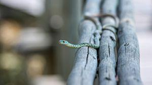 eksoottinen vihreä käärme
