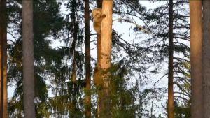 Björnungar klättrar ner från trädet