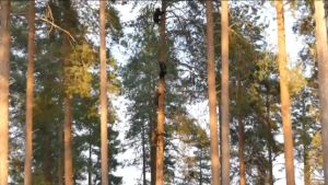 Björnunge uppe i trädet