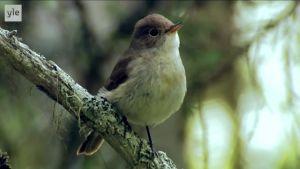 Pikkusieppo istuu naavaisella kuivuneella oksalla nokka pysyssä.