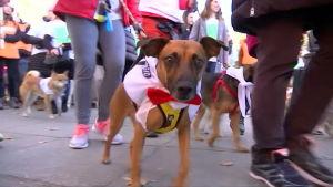Hundmarsch i Madrid