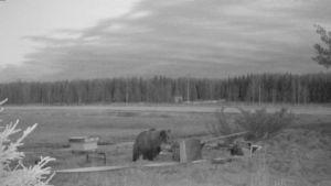 Björn vid bikupor.