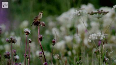 Pensasirkkalintu laulaa niityllä kuivaneen ohdakkeen nokassa.