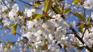 Körsbärsblommors avkok smakar mandel.