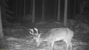 En dovhjortsbock fångad på bild av en viltkamera.