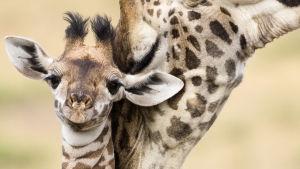 Kirahvi emonsa kanssa.