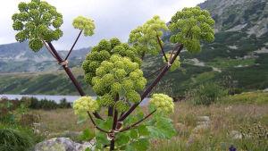 Kvannen är en mångsidig växt.