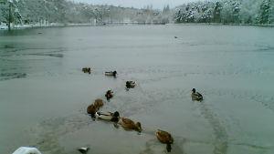 Änder simmar i en isfåra.