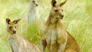Två fundersamma kängurur.