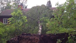 Omkullfallen björk efter ett åskväder i Bromarv.