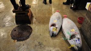 Tonfisk på golvet när fiskauktionen börjar