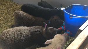 Några lamm dricker mjölk ur ett nappämbar