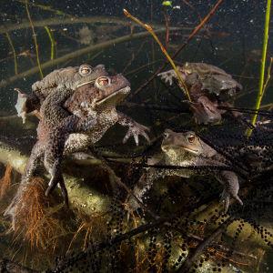 Rupisammakoita ja nauhamaista kutua sammakkolammessa.