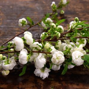 Ett knippe blommande körsbärskvistar som ligger på ett repigt, brunt, gammalt bord.