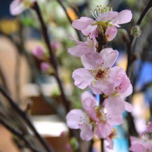 Blommande kvistar av persika.