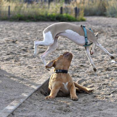Bordeauxindoggi Boris (rusk.) ja whippet Unto telmivät Eiranrannan koirapuistossa Helsingissä 10. syyskuuta 2019.