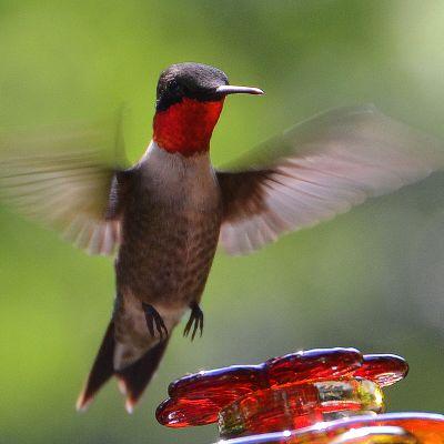 Kolibri laskeutuu juoma-astialle.