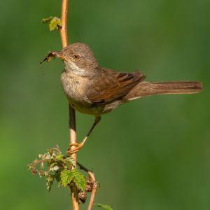 Vilken gråbruna fågel har vassa inslag i både rösten och reviret?