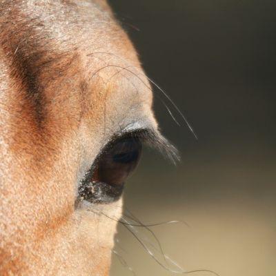 Hevonen.