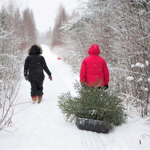 Kaksi henkilöä hakemassa joulukuusta metsästä.