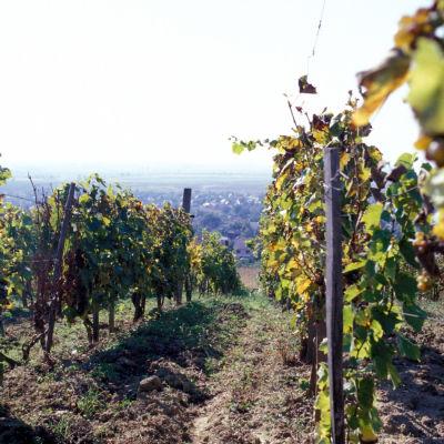 Viiniköynnöksiä viinitarhassa