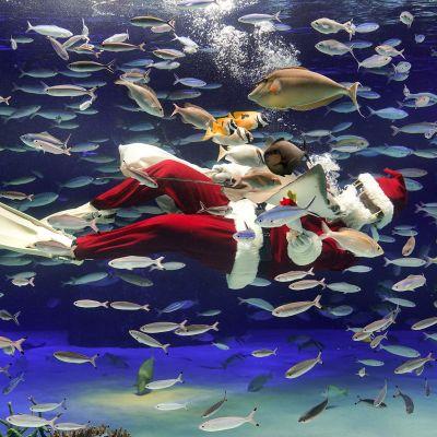 Joulupukin asuun pukeutunut sukeltaja Tokion Sunshine-akvaariossa Japanissa 10. joulukuuta